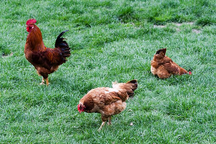 healthy chickens love grass
