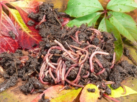 image of some worms from a wormery