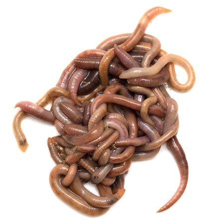 earthworms in a group